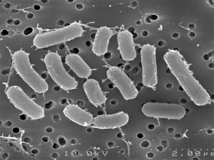 lactobacillus-R11_big